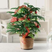 Holiday Norfolk Pine